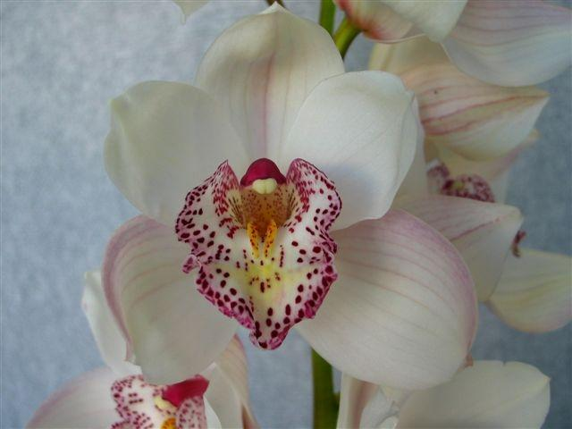 orchid cymbidium perla farms