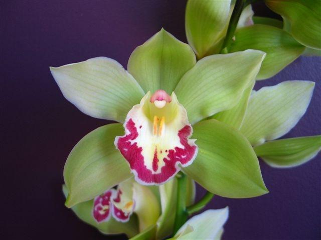 orchid cymbidium green perla farms