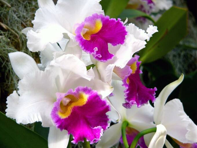 cattleya orchid perla farms
