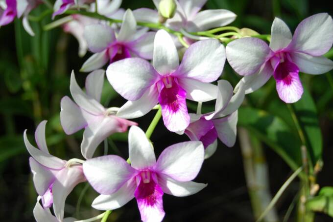orchid perla farms