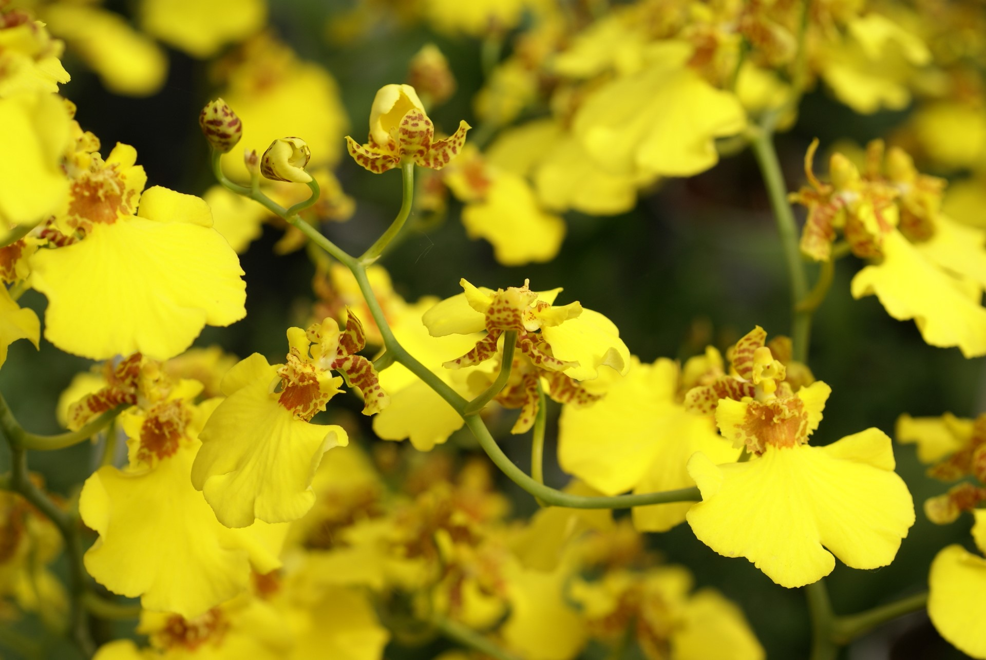 yellow oncidium orchids perla farms